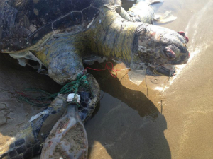 Turtle damaged by plastic